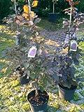Blutbuche Fagus sylvatica purpurea 80 - 100 cm hoch im 5 Liter Pflanzcontainer