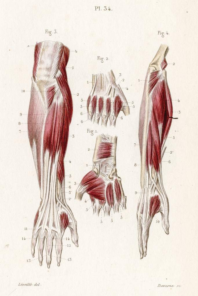 Amazon Muscles Forearm Human Anatomy Engraving 1886 Stretched