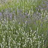 David's Garden Seeds Herb Lavender Munstead Type SL943A (Purple) 200 Open Pollinated Seeds