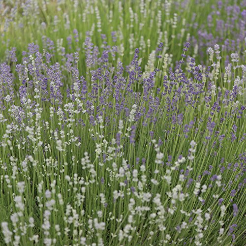 David's Garden Seeds Herb Lavender Munstead Type SL943A (Purple) 200 Open Pollinated Seeds (Buy Pots Where Plant To Online)