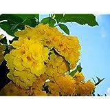 floración espectacular 200 semillas seeds Tecoma stans Bignonia amarilla