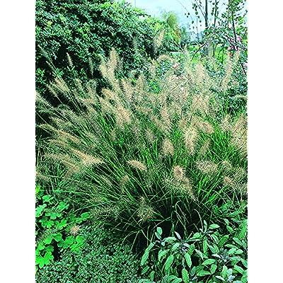 Perennial Farm Marketplace Pennisetum alopecuroides (Fountain) Ornamental Grass, Size-#1 Container, Coppery-Tan Plumes : Garden & Outdoor