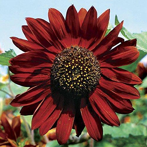 - Velvet Queen Sunflower 18 Seeds - Unique - Spectacular