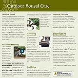 Brussel's Bonsai Live Dawn Redwood Outdoor Bonsai