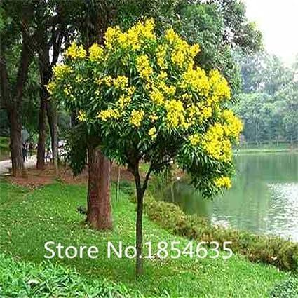 Amazon garden plant 100 pcs mimosa seed acacia yellow tree garden plant 100 pcs mimosa seed acacia yellow tree flower seeds bonsai seed mightylinksfo