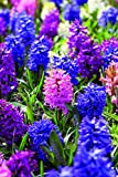 Burpee's Sensation Mix Hyacinth - 5 Flower Bulbs | Multiple Colors | 17 - 19cm Diamter