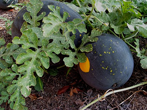 Heirlooms Watermelon Seed Stonysoil Company product image