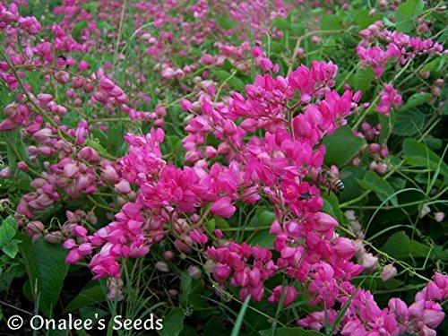 Wreath Sun Seed - Coral Vine: PINK (Antigonon leptopus) Rosa De Montana,Queen's Wreath, Mexican Creeper (18+ Seeds)