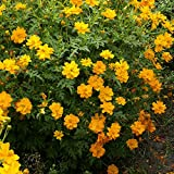 Outsidepride Cosmos Sulphureus Orange - 1000 Seeds