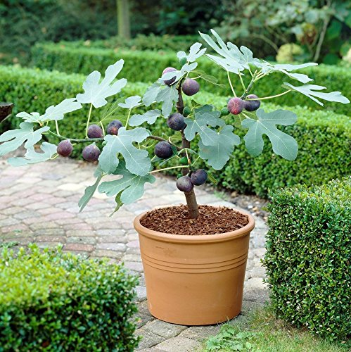 Chicago Hardy Fig w/Edible Fruit - Well Rooted Fig Tree Plant in 2.5