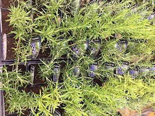 6 x Rosemary Herb Plant Mix - Miss jessops - Majorca Pink - BBQ - Seven Seas - 9cm Pots Ready to Plant Carbeth Plants