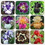 Rare Heirloom Iris Tectorum Perennial Flower Seeds, Professional Pack, 20 Seeds / Pack, Very Beautiful Flowers