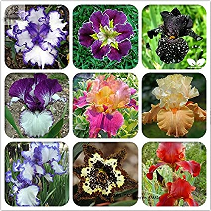 Amazon rare heirloom iris tectorum perennial flower seeds rare heirloom iris tectorum perennial flower seeds professional pack 20 seeds pack mightylinksfo