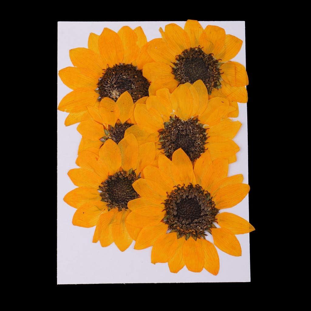Gelb 4,5-6 cm Fenteer 6 St/ücke Nat/ürliche Echte Blumen Sonnenblume Getrocknete Blume DIY Handwerk