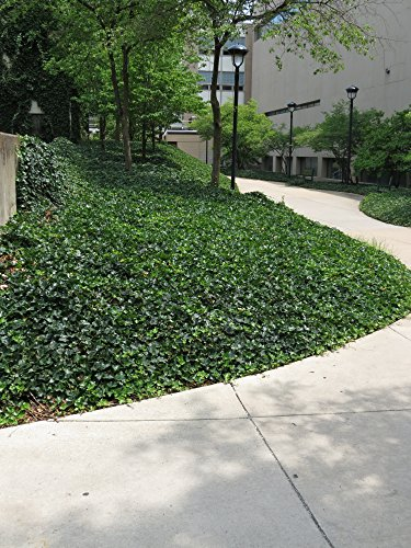 English Ivy Hedera helix Groundcover - 200 Bare Root Plants by English Ivy Hedera helix Groundcover (Image #2)