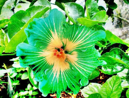 (10 Rare Green Yellow Hibiscus Seeds Giant Dinner Plate Flower Garden Exotic)