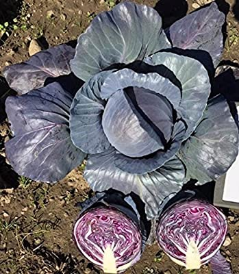 David's Garden Seeds Cabbage Roadie OP13-76 (Red) 100 Hybrid Seeds