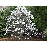 """Royal Star Mangolia – Flowering Shrub - 3.5"""" Healthy Potted Plant – 3 Pack by Growers Solution"""