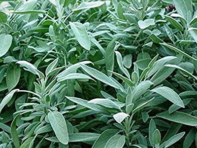Sage- Broadleaf- 100 Seeds