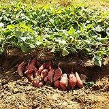100pcs / Bag High Yield Vegetable Seeds Ipomoea Batatas Seeds Giant Sweet Potato Plant Edible Green Leafy Vegetable