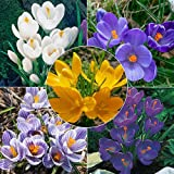 25 Giant Crocus Bulbs Mixed-Colorful Crocus Collection(Pack of 25 Bulbs) Zone:3-9