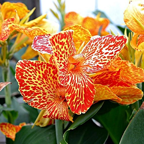 (CANNA LILY Cleopatra with the many faces border plant 10 seeds)