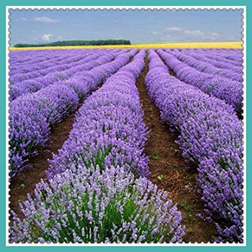 Used, Green's Gardens Rare Heirloom 200 Seeds Viola Lavanda for sale  Delivered anywhere in USA