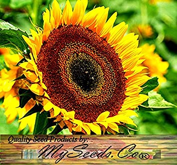 Amazon 1 oz 1 000 seeds taiyo sunflower seeds orange 1 oz 1000 seeds taiyo sunflower seeds orange yellow flowers with a chocolate mightylinksfo