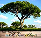 BULK ITALIAN STONE PINE Pinus pinea Tree Seeds - EDIBLE PINE NUTS Umbrella Pine