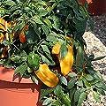 Pepper Sweet - Mohawk - 10 Seeds