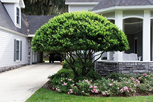 Ligustrum Japonicum 'Recurvifolium' - Curled Leaf Privet - Qty 40 Live Plants - Evergreen Privacy Hedge by Florida Foliage (Image #1)