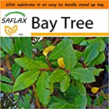 SAFLAX - Garden in the Bag - Bay Tree - 6 seeds - Laurus nobilis