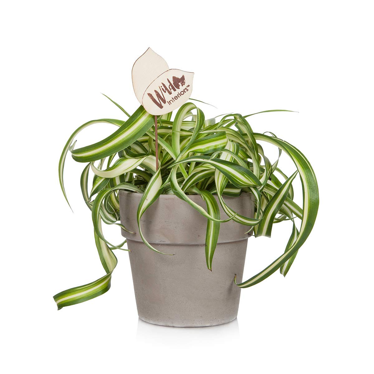 Wild Interiors 222798 Curly Spider Live Indoor Potted Plant, Shelf Size (5''), Green
