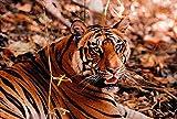 Bengal Tiger in Bandhavgarh National Park, India by Dee Ann Pederson / Danita Delimont Art Print, 30 x 20 inches