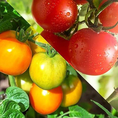 トマト 実 ならない ミニ が