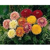 125+ Assorted Chrysanthemum Seeds - Colorful Blooms - My Secret Gardens - UPC742137106032