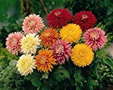 125+ Assorted Chrysanthemum Seeds - Colorful Blooms - My Secret Gardens - UPC742137106032