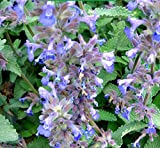 Mentha Arvensis (Field Mint / Wild Mint or Corn Mint) 300 Seeds
