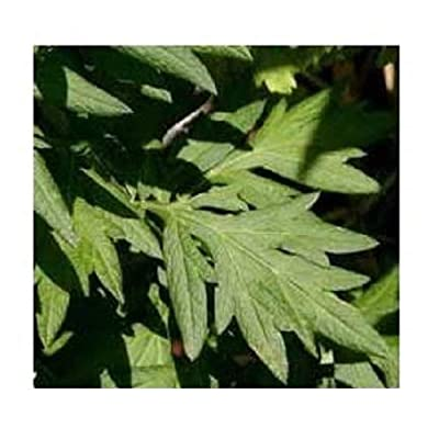 David's Garden Seeds Herb Mugwort SL9186 (Green) 500 Non-GMO, Heirloom, Seeds : Garden & Outdoor