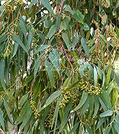 Amazon eucalyptus camaldulensis red river gum 50 seeds eucalyptus camaldulensis red river gum 50 seeds evergreen white flowers aromatic mightylinksfo