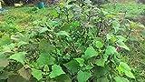 One Pound Jerusalem Artichokes (Organic) - Hardy Red Fuseau Variety - (Sunroot 'chokes or Sunchoke) by Yumheart Gardens (1 LB)