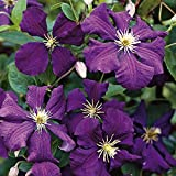 1 Root Clematis, Jackmanii,(Bare Root/rhizome),-flowered Vine,Now Shipping !