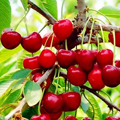 HOTUEEN Organic Fruit Seeds Bonsai Seeds High Germination Rare Home Cherry Seeds Fruits : Garden & Outdoor