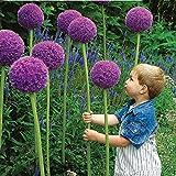 25pcs Allium Giganteum Semi viola impianto domestico di DIY giardino