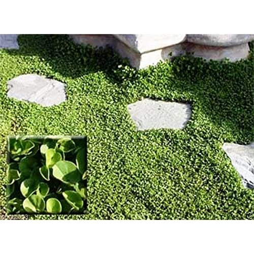 Cheap Dichondra Repens Seeds-stays neat all year with no mowing! ½ ounce,6,065 seeds for cheap