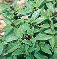 HEIRLOOM NON GMO Sweet Thai Basil 100 seeds