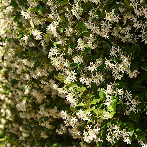 Perfect Plants Confederate Jasmine Live Plant, 1 Gallon, Includes Care Guide by PERFECT PLANTS (Image #2)