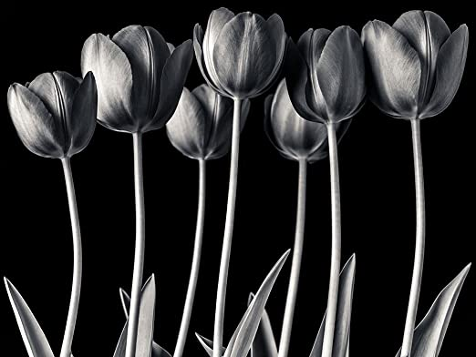 24 x 48 Tulips black and white Poster Print by Assaf Frank