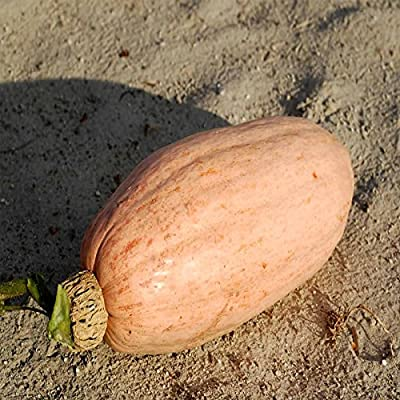 Pink Banana Jumbo Winter Squash Garden Seeds - Non-GMO, Heirloom - Vegetable Gardening Seed