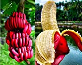 LOSS PROMOTION SALE! 100 pcs/bag red banana seeds, delicious rare fruit seeds sent gift